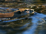 Beaver Swimming in Snake River