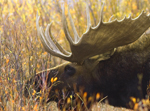 Bull Moose at Willow Flats