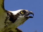 Osprey, Swan Valley, Idaho