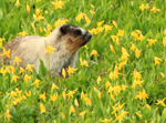 Hoary Marmot and Glacier Lillies