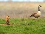 Red Fox Kit and Canada Goose