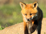 Red Fox Kit