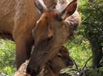 Elk Cow and Newborn Calf