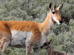 Pronghorn Antelope Doe and Newborn Fawn