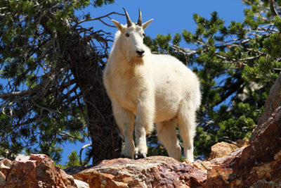 Mountain Goat, Wasatch National Forest, Utah - Copyright © 2011 - Thayne Shaffer