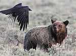 Grizzly Bears and Ravens