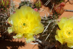 Prickly Pear Cactus Flower, Arches National Park, Utah