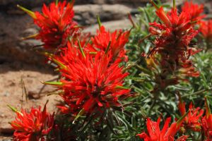 Desert Paintbrush, Arches National Park, Utah