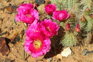 Prickly Pear Cactus Flower, Ute Indian Reservation, Utah